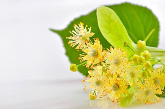 Flor de tilo (Tilia platyphyllos).